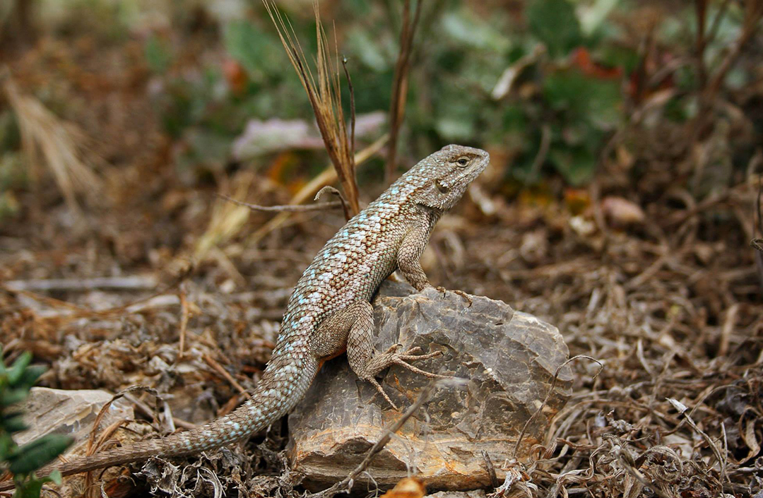 Western Fence Lizard Cat And Exotic Care